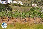 Pistache bomen Aegina | Marathonas | GriechenlandWeb.de 1 - Foto GriechenlandWeb.de