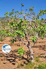 GriechenlandWeb.de Pistache bomen Aegina | Marathonas | GriechenlandWeb.de 2 - Foto GriechenlandWeb.de