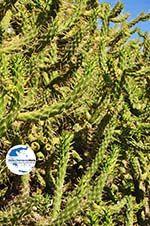 GriechenlandWeb.de Marathonas Cactusplanten | Aegina | GriechenlandWeb.de 1 - Foto GriechenlandWeb.de