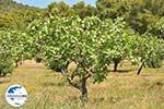 GriechenlandWeb.de Pistache bomen Palaiochora | Aegina | GriechenlandWeb.de foto 3 - Foto GriechenlandWeb.de