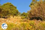Dennenbomen Agkistri | Griechenland | GriechenlandWeb.de foto 7 - Foto GriechenlandWeb.de