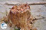 GriechenlandWeb.de Versteende woud Sigri foto10 - Foto GriechenlandWeb.de