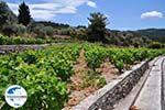 GriechenlandWeb.de Wijngaarden langs de weg van Marathokampos naar Karlovassi - Insel Samos - Foto GriechenlandWeb.de