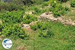 GriechenlandWeb.de Papavers und wijngaarden in Manolates - Insel Samos - Foto GriechenlandWeb.de