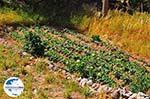 GriechenlandWeb Garten im Dorf Dilinata - Kefalonia - Foto 36 - Foto GriechenlandWeb.de