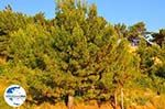 GriechenlandWeb Dennebomen Lassi - Kefalonia - Foto 503 - Foto GriechenlandWeb.de